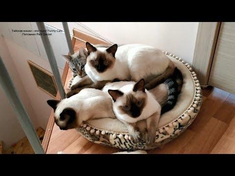 В тесноте, да не в обиде - четверо котиков на одной лежанке! Тайские кошки - это чудо! Funny Cats