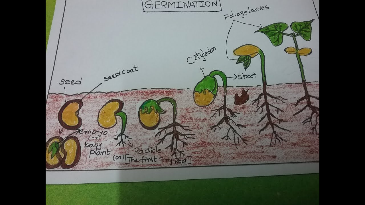 How to draw the pictures of germination, kids science ...
