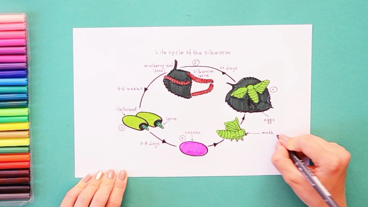 How to draw and color lifecycle of silk worm - labeled science ...