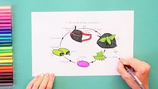 How to draw and color lifecycle of silk worm -  labeled science diagrams
