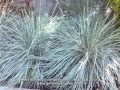 Helictotrichon sempervirens - Blue Oat Grass