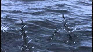 bbc life flying fish