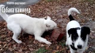 Собака камнеед. Нехватка минералов в организме собаки