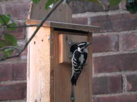 Female downy woodpecker makes 67 calls before calling it a night