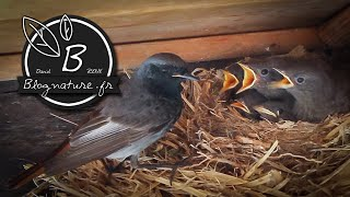 Un couple de rougequeues noirs nourrit ses 5 oisillons / Blognature.fr