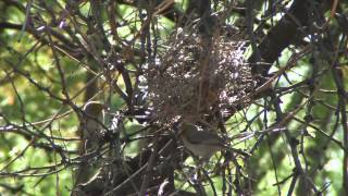 Tiny Texas Birds Build Nest: 2000 Twigs in 2 Days