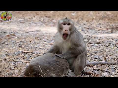 Khỉ giao phối siêu đẳng, tìm hiểu về động vật hoang dã