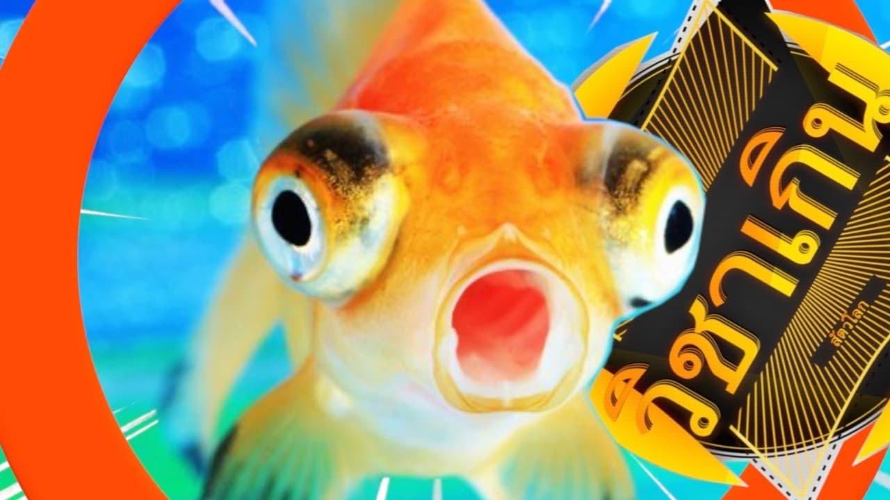 สารคดี วิชาเกินสัตว์โลก [season3] ep.42 ปลาทองปลาที่ทุกคนคู่ควร #ปลาทอง #ปลาสวยงาม