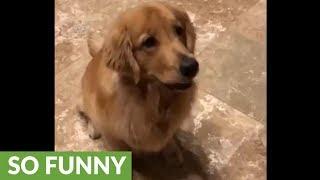 Dog follows bouncing ball's every move