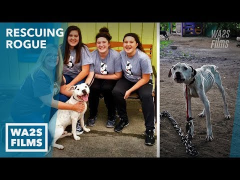 Thumbnail: Chained Starving Dog Rescue Inspires Amazing Transformation You Gotta See! Rescuing Rogue VET Rescue