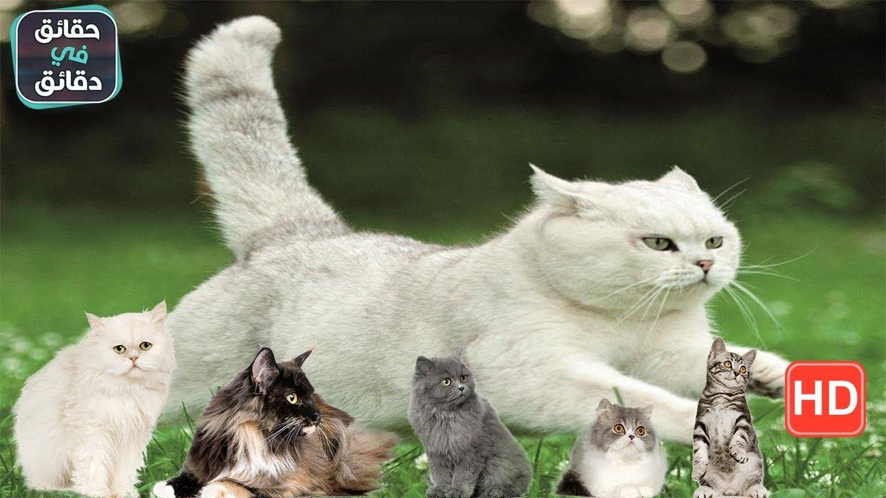 كيف تفهم لغة القطط وتتواصل معها وتفهم حركاتها Youtube