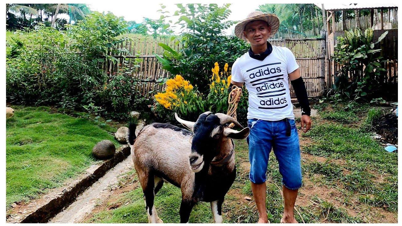 Download KINUHA NAMIN SI TORO AT DALHIN SA AREA2 + MARAMI TAYONG SISIW NG MANOK | BUHAY PROBINSYA