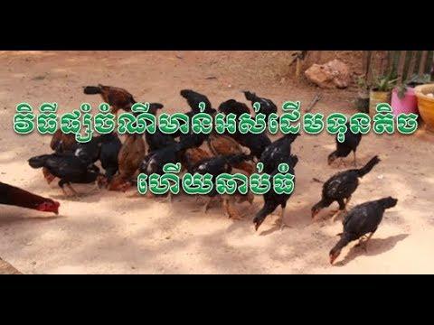 Cambodia agriculture - វិធីផ្សំចំណីមាន់អស់ដើមទុនតិច ហើយឆាប់ធំ