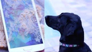 Labrador Eats Samsung Galaxy S5 Sandwich!