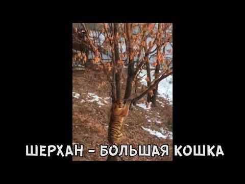 ШЕРХАН - БОЛЬШАЯ КОШКА