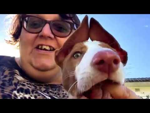 Introducing Dante - my Ibizan Hound puppy!!