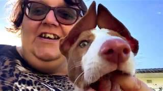 Introducing Dante  my Ibizan Hound puppy!!