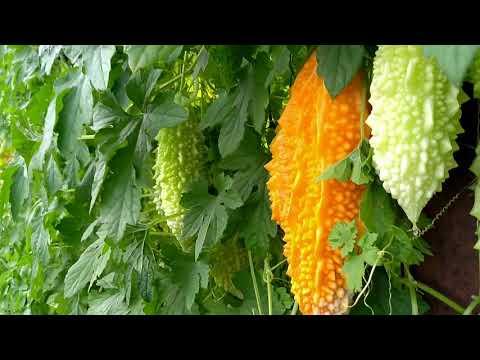 Момордика полезнейшее растение и вкусное лакомство.Растёт и радует душу.