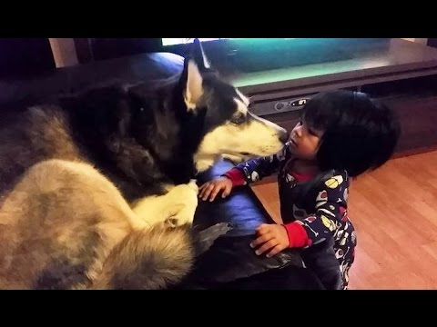 Siberian Husky Just Love to Give Baby Kisses!