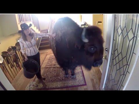 Housebroken Bison for Sale on Craigslist