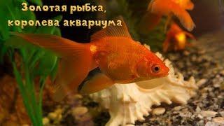 Золотая рыбка, королева аквариума, Аквариумные рыбки.