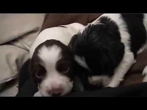English Springer Spaniel Mother Her 3 Week Old Puppies Youtube