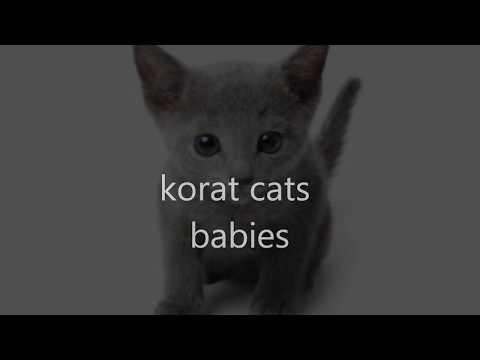korat cats babies