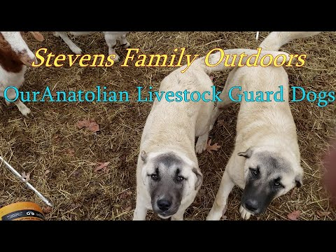 Our Anatolian Shepherd Guard Dogs  A Traditional Homestead