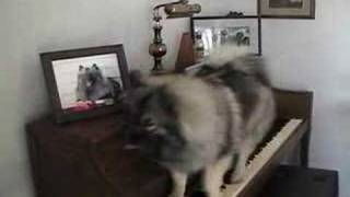 Keeshond Playing Piano.