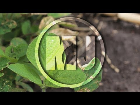 Soybean Pests & Hail Damage - Justin McMechan - June 15, 2018