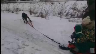 Ездовая собака :)