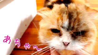 【おもしろハプニング】可愛すぎるいたずら!炭まみれになる猫(ティッティ)【スコティッシュフォールド】|アート書道家 葵清蓮 Seiren Aoi