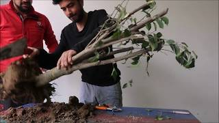 Can We make Bonsai By Cutting Big Plants ?