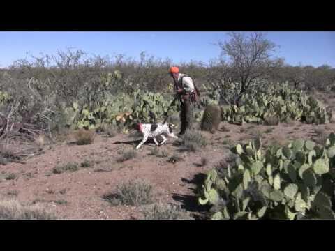 Hunting Gambel's Quail