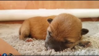 Tiny Miracle Boi - MLIP / Ep 100 / Shiba Inu puppies