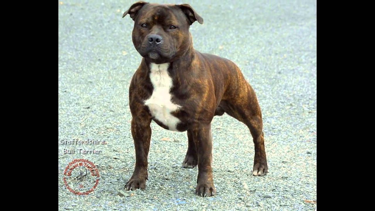 staffordshire bull terriers is not a fucking apbts pit. Black Bedroom Furniture Sets. Home Design Ideas