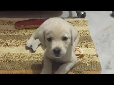 Labrador Puppy First Week at Home | Toys | Indian Born | Yellow | MAX | Random Loads of Fun |