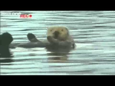 Copacabana Otter - BBC One Walk On The Wild Side