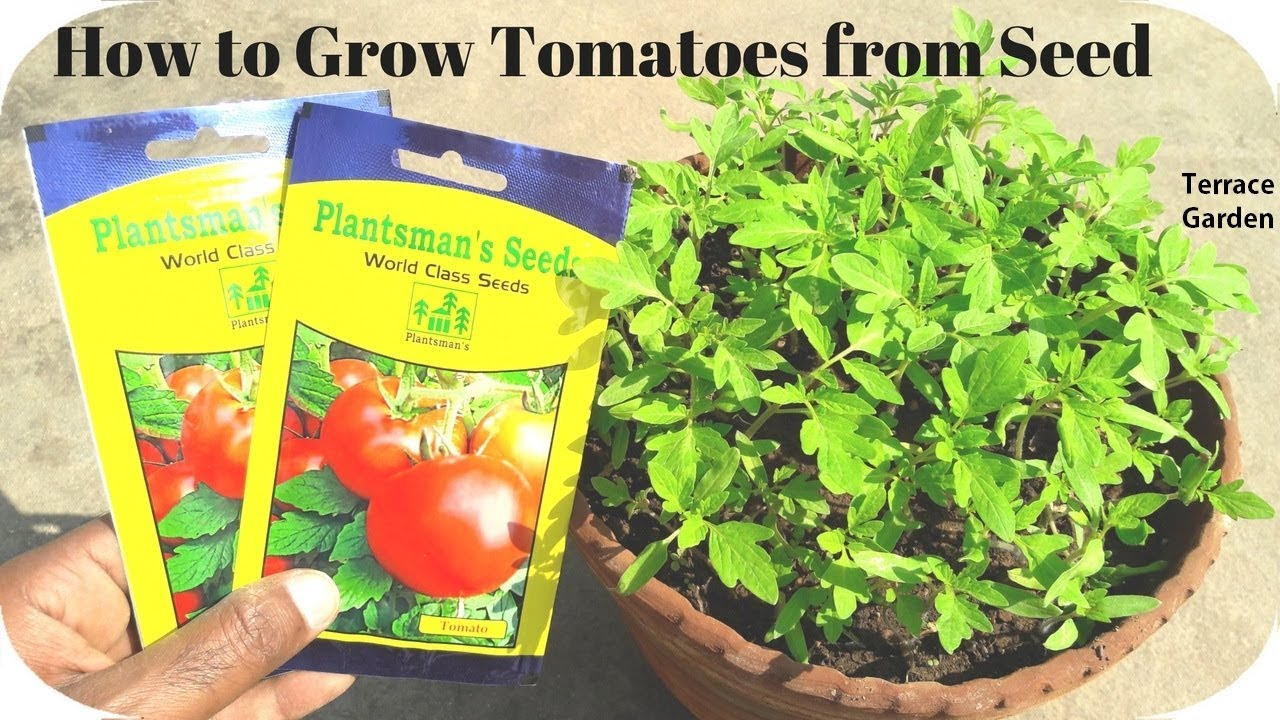 How To Grow Tomatoes From L