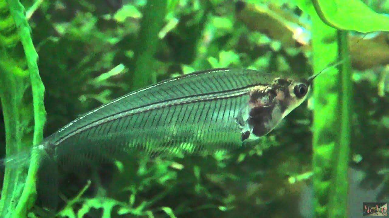 asi es un pez gato cristal youtube