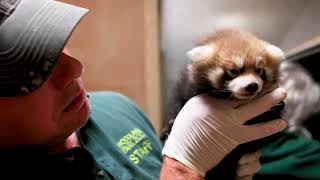 Weekly Weigh-in: Red Panda Cubs!