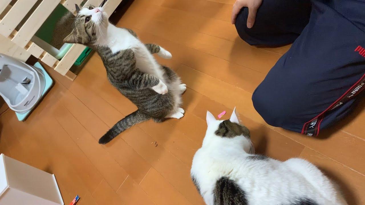 「オデコ、立つんだ」で立つ素直な猫