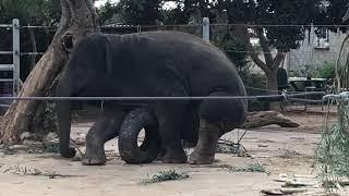 Кипрский зоопарк. Индийский слон.