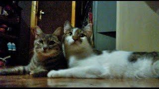 Интим кошек.Мир в интим моменте, воспитание котёнка  у кошек - единое целое.