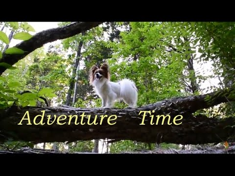 Percy the Papillon Dog Goes on an Adventure!