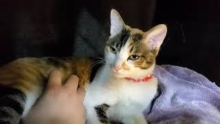 뱃살만지면 더 만지라고 쩍벌해주는 고양이 앙쥬