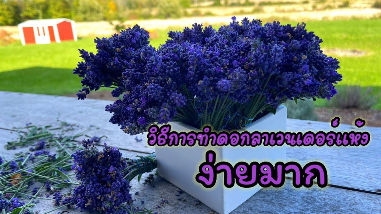 วิธีการทำดอกลาเวนเดอร์แห้ง ง่ายมาก How to dry Lavender Ep 51