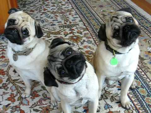 Cuteness Interviews Minnie & Max (Head Tilt Pugs)