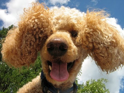 Poodles Are Awesome: Compilation 2 ♥♥ Cutest Poodle Videos 2017