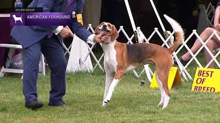 American Foxhounds | Breed Results 2021